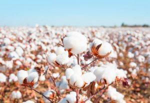 Bông vải cotton - Phế liệu Quang Đạt